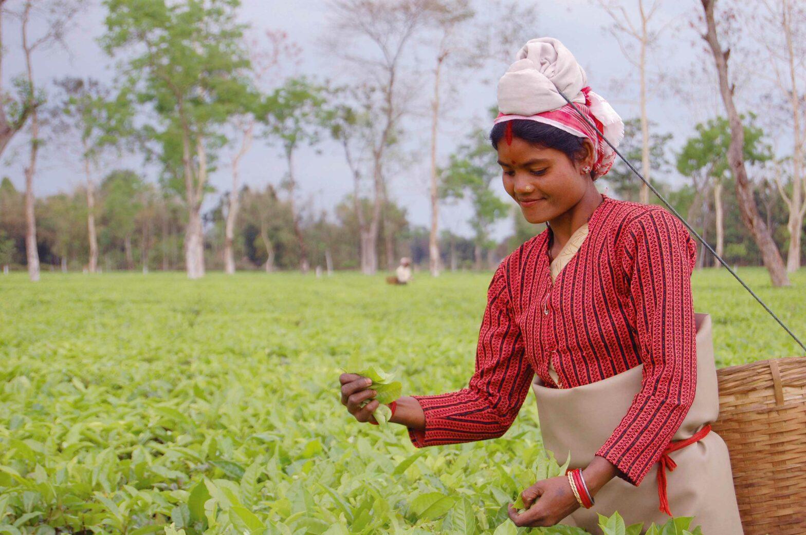 Eine Teepflückerin bei der Arbeit